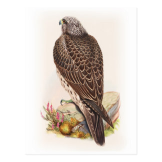 Young Iceland Falcon Gould Birds of Great Britain Postcard