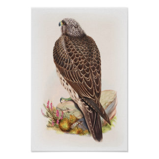 Young Iceland Falcon Gould Birds of Great Britain Poster