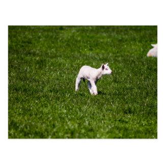 Young Lamb Post Cards