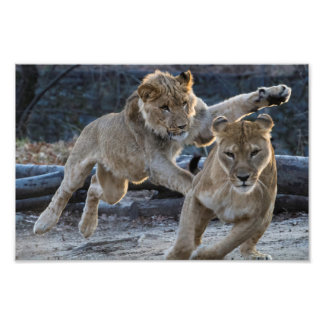 Young Lion Plays With Mom Photo Art