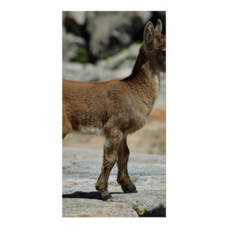 Young male wild goat, Iberian ibex, Spain Perfect Poster