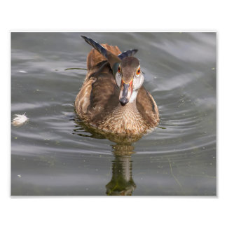 Young Male Wood Duck on Pond Photo Print