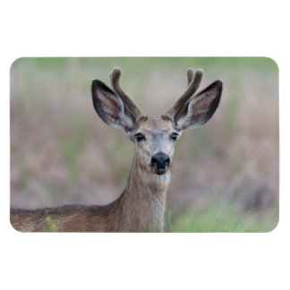 Young Mule Deer Large Photo Magnet