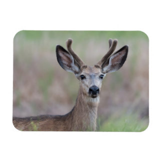 Young Mule Deer Small Magnet