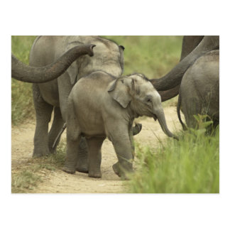 Young ones of Indian / Asian Elephant on the Postcard