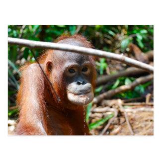 Young Orangutan Drinks Water on island of Borneo Postcard