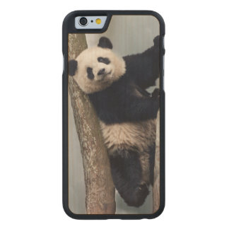 Young Panda climbing a tree, China Carved® Maple iPhone 6 Slim Case
