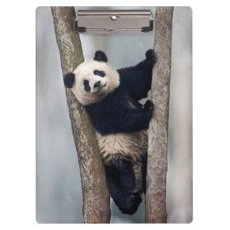 Young Panda climbing a tree, China Clipboards