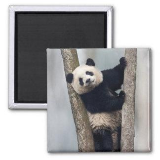 Young Panda climbing a tree, China Magnet