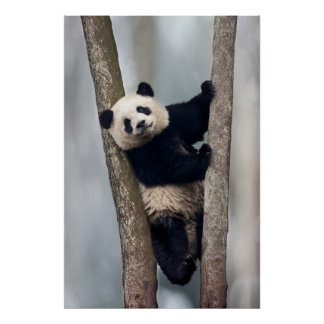 Young Panda climbing a tree, China Poster