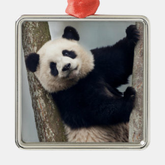 Young Panda climbing a tree, China Silver-Colored Square Ornament