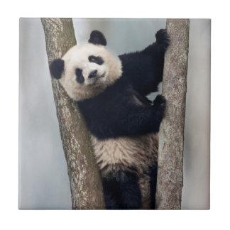 Young Panda climbing a tree, China Tiles