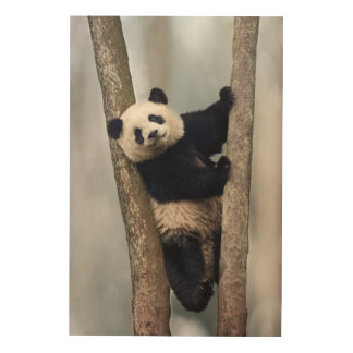 Young Panda climbing a tree, China Wood Print
