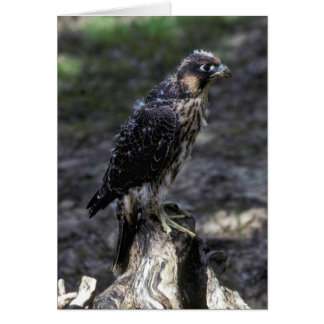Young Peregrine Falcon Card
