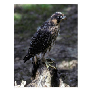 Young Peregrine Falcon Postcard