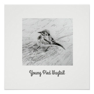 Young Pied Wagtail Poster