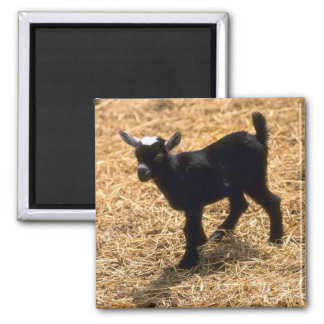 Young Pigmy Goat Magnet