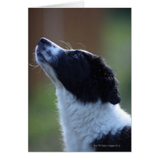 young pup Border Collie Card