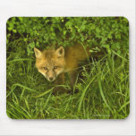 Young Red Fox coming out from hiding in bushes