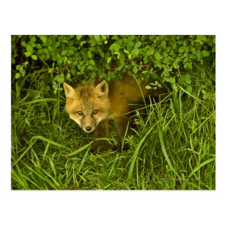 Young Red Fox coming out from hiding in bushes Postcard