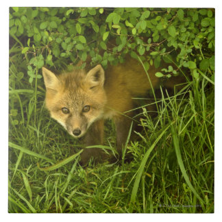 Young Red Fox coming out from hiding in bushes Tile