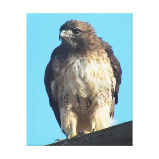 Young Red-Tailed Hawk After a Snack Gallery Wrapped Canvas