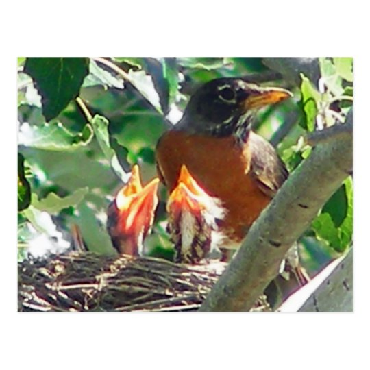 Young robins hungry, open beaks, looking for food postcard