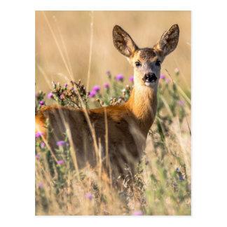 Young Roe Deer in Meadow Postcard