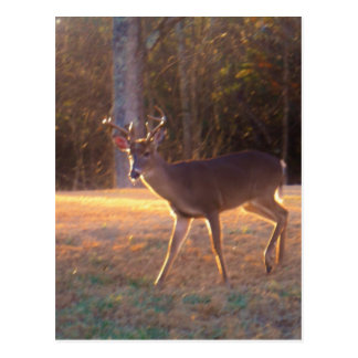 Young Stag Deer in the Sun Light Postcard