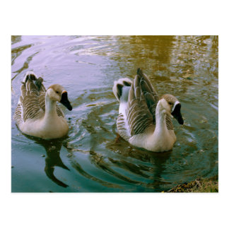 Young swans postcard