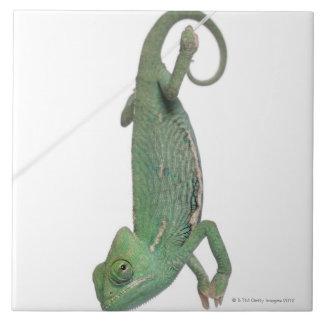Young veiled chameleon, Chamaeleo calyptratus Tile