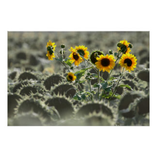 Young Yellow Sunflowers Poster