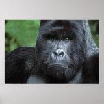 Zaire, Virungas National Park. Portrait of Poster