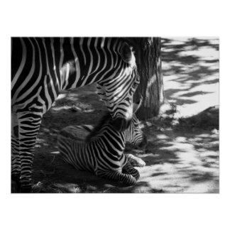 zebra and cub poster