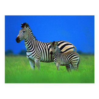 Zebra and Foal Postcard