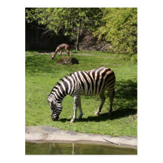 Zebra and Gazelle Postcard