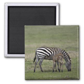 Zebra and nursing foal, Tanzania Square Magnet