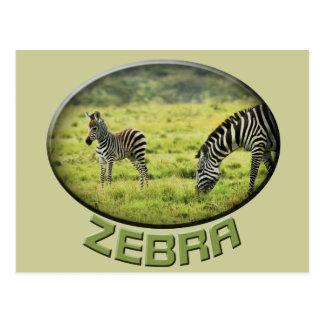 Zebra and zebra foal wildlife safari postcards