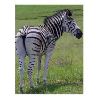 Zebra Attitude  Postcards