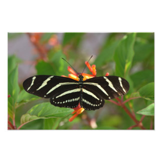 Zebra Butterfly Photo Print
