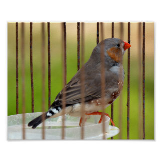 Zebra Finch Bird in Cage Poster