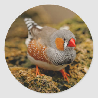 Zebra Finch on the Rocks Classic Round Sticker