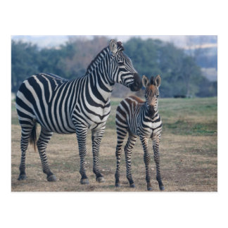 Zebra Foal and Mother Postcard