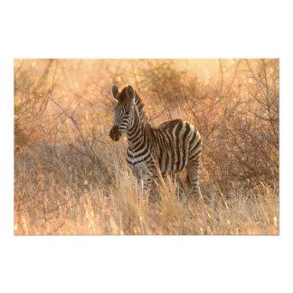 Zebra foal in morning light photo art