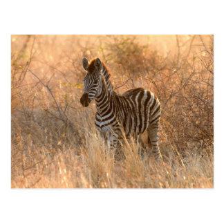 Zebra foal in morning light postcard