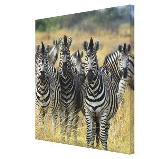 Zebra Herd Canvas Print