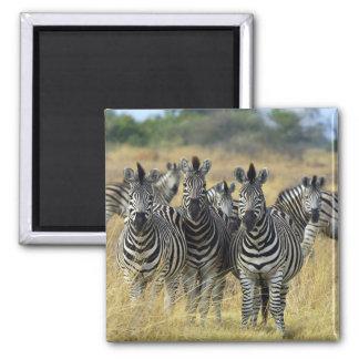 Zebra Herd Square Magnet