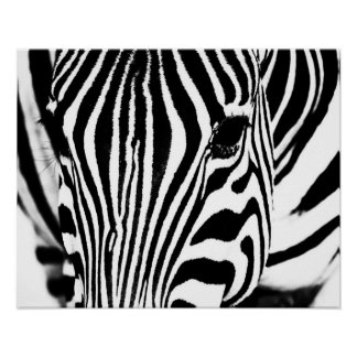 Zebra portrait black and white poster
