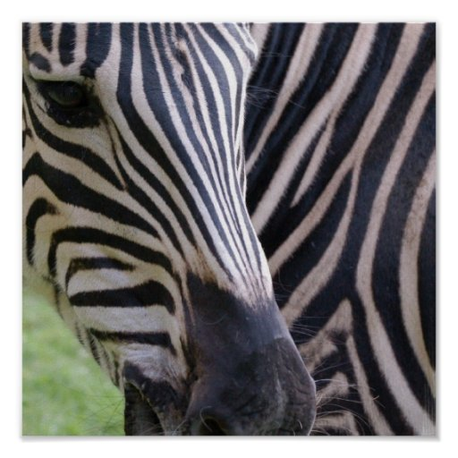 Zebra Poster Print