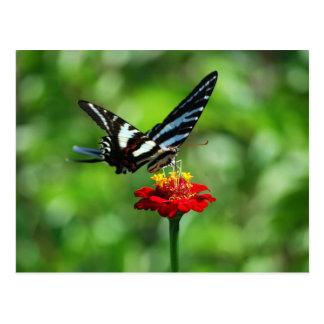 Zebra Swallowtail Butterfly on Red Zinnia Postcard